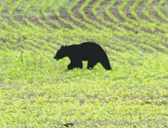 bear W
