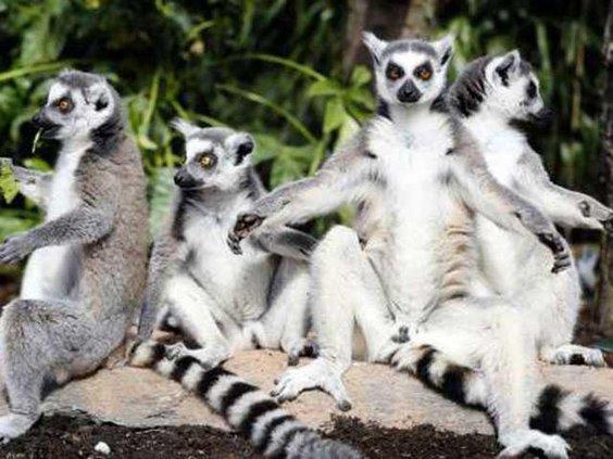 lemursWEB