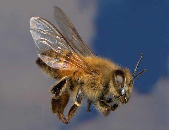 africanized-honeybee w sm