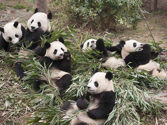Giant Pandas at China's Chengdu Base.jpg