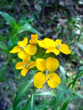westernwallflower8.jpg