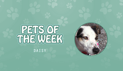 Pet of the Week - Daisy