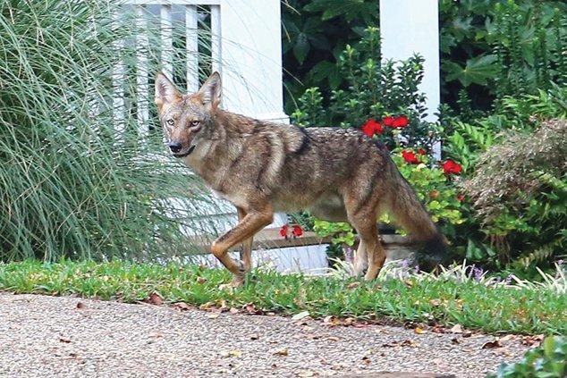 Urban coyote 1.jpg