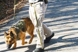 Police dog - Axel at work.jpg