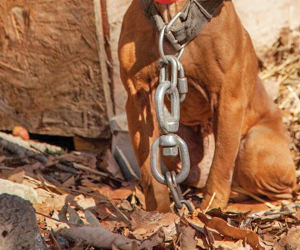 Dog tethered logging chain.jpg